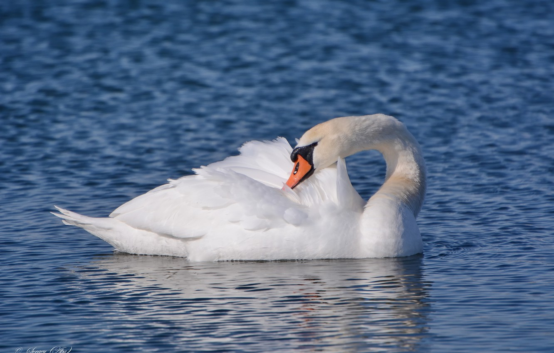 Фото обои озеро, птица, лебедь, чистит перья