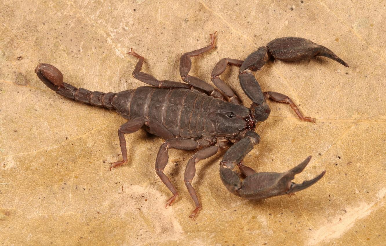 Фото обои лист, скорпион, жало
