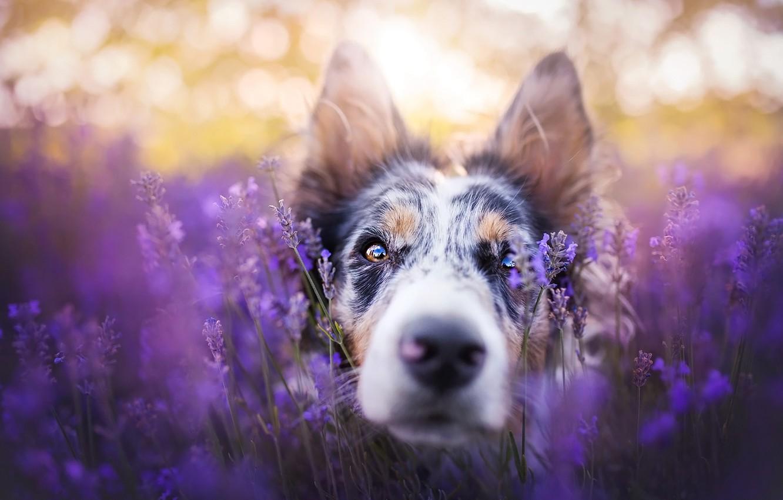 Фото обои поле, взгляд, морда, свет, цветы, крупный план, поза, портрет, собака, лаванда, боке, бордер-колли, сиреневый фон, ...
