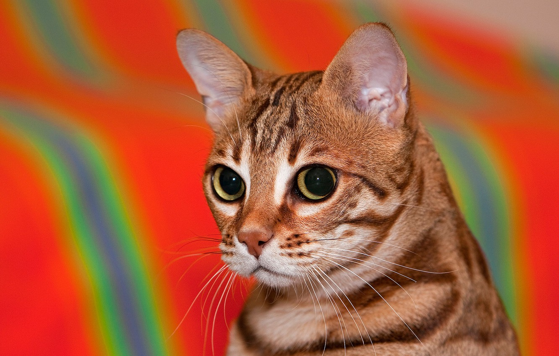 Фото обои кошка, взгляд, фон, портрет, мордочка, Бенгальская кошка