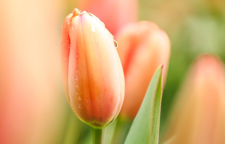 Фото обои цветок, капли, макро, цветы, роса, тюльпан, Весна, утро, тюльпаны