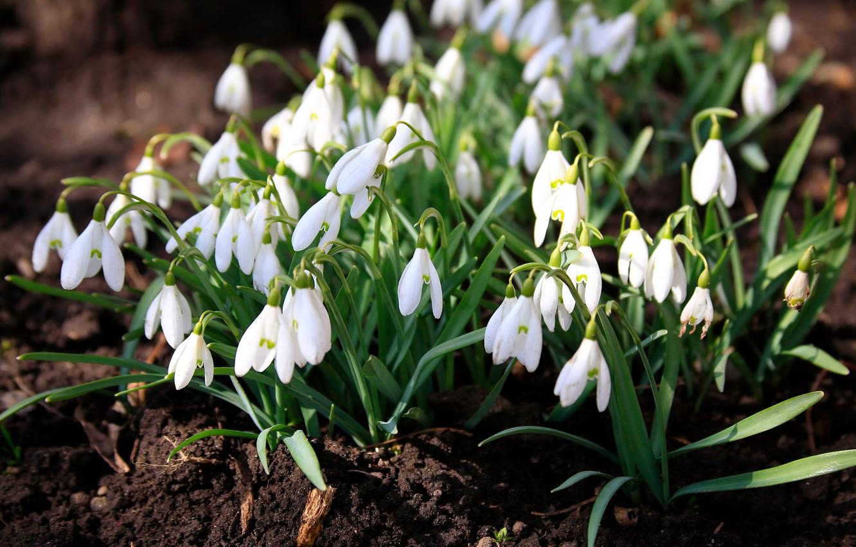 Фото обои цветы, природа, весна, подснежники, первоцветы