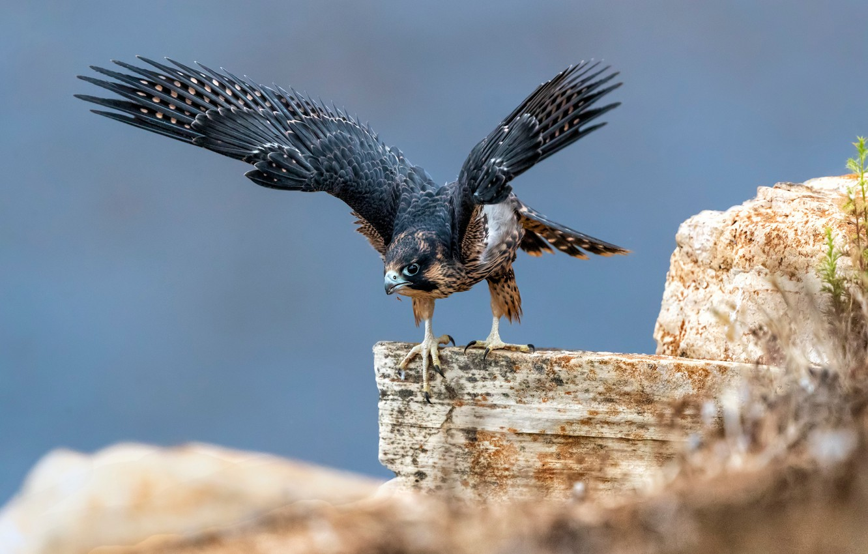 Фото обои камни, птица, крылья, сапсан