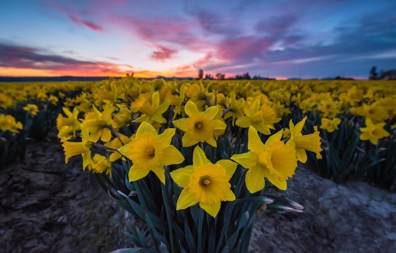 Фото обои цветы, восход, рассвет, утро, нарциссы, плантация, Washington State, Skagit Valley