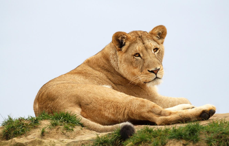 Фото обои трава, взгляд, морда, поза, фон, портрет, лапы, лежит, львица, дикая кошка, голубой фон