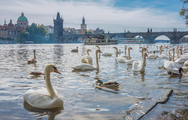 Обои Лебеди, чехия. Города foto 7