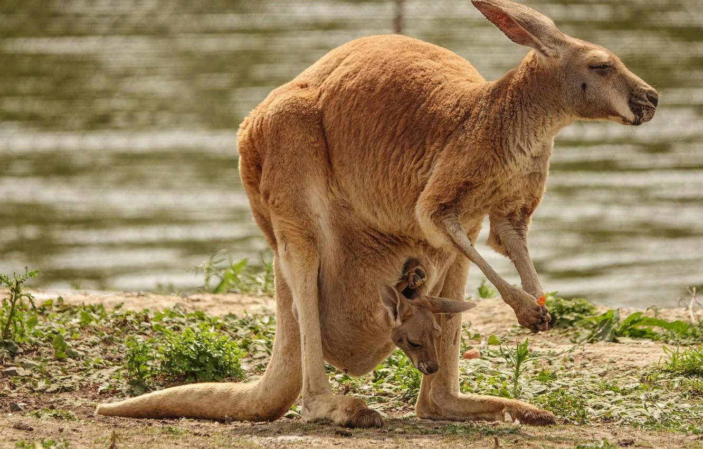 Фото обои фон, кенгуру, сумка, детеныш, зоопарк, мать, милахи, сумчатые, кенгуренок, австралийский кенгуру