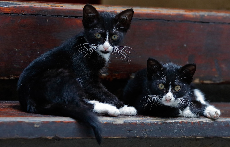 Фото обои котята, парочка, двойняшки