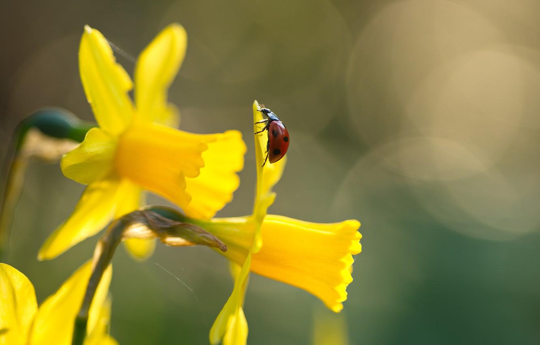Фото обои макро, цветы, природа, божья коровка, жук, весна, насекомое, нарциссы, боке