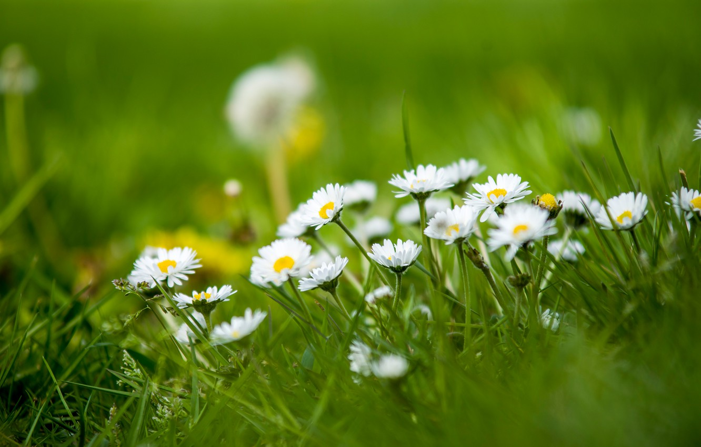 Фото обои трава, природа, маргаритки