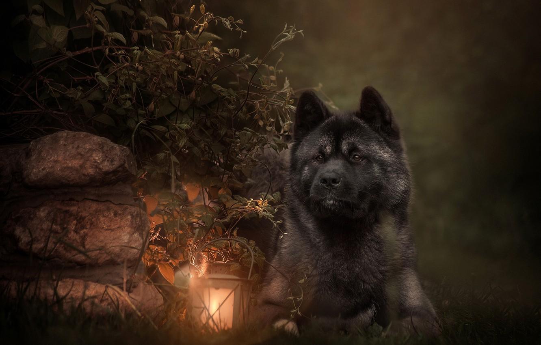 Фото обои листья, ветки, камни, животное, собака, фонарь, пёс