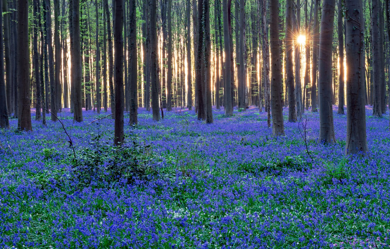 Фото обои лес, цветы, природа, весна