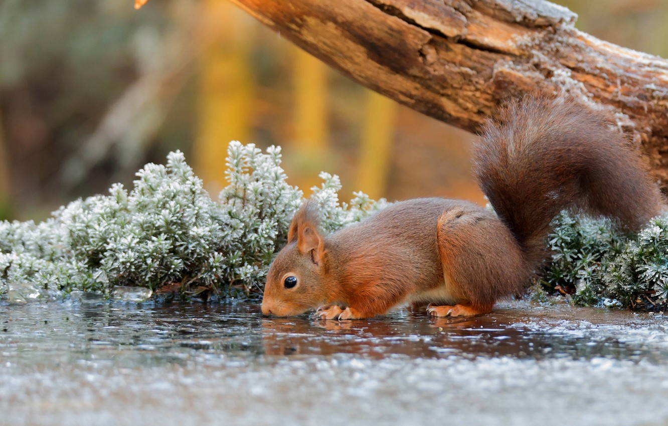 Фото обои nature, water, tree, animal, Squirrel, branch, rodent, frost, depth of field, drinking, mammals, sciuridae, tree …