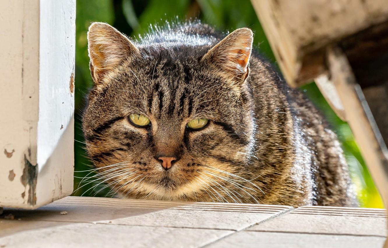 Фото обои кот, взгляд, мордочка, котэ, котофеич