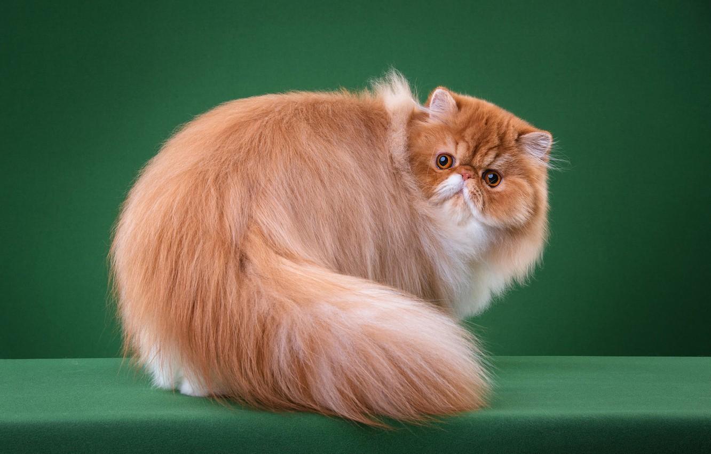персидский кот рыжий пушистый