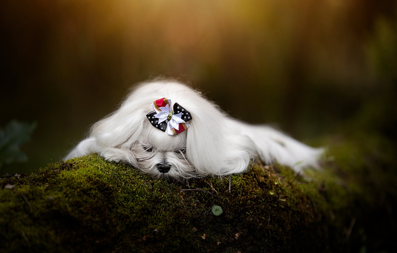 Фото обои мох, собака, бантик, боке, пёсик, Гаванский бишон