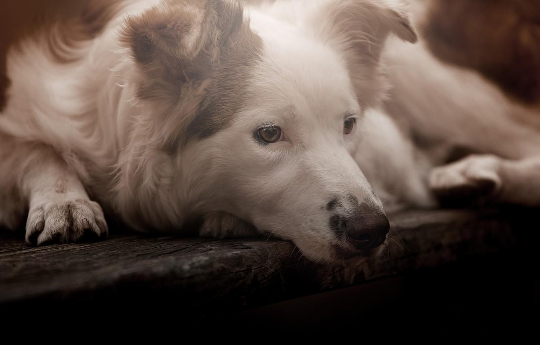 Фото обои взгляд, морда, собака