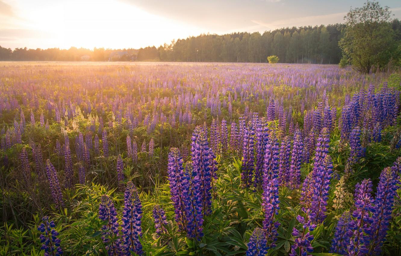 Фото обои поле, лес, цветы, туман, рассвет, утро, дымка, сиреневые, люпины