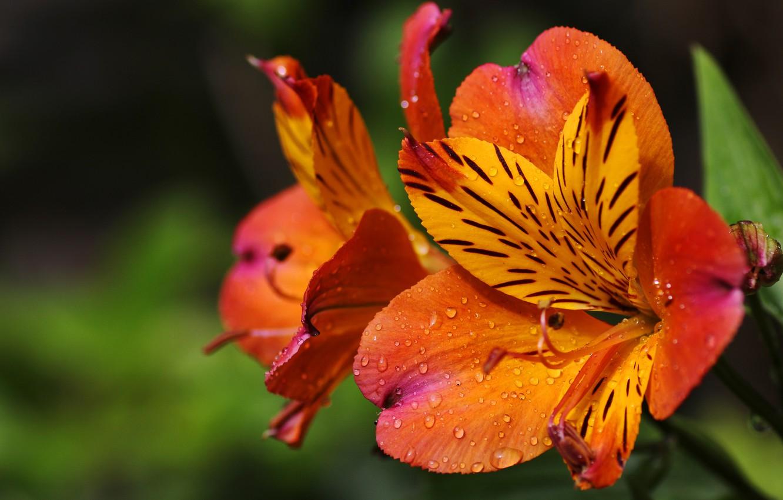 Фото обои капли, макро, полоски, цветы, фон, яркие, оранжевые, альстромерия
