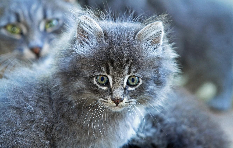 Фото обои взгляд, серый, пушистый, мордочка, котёнок