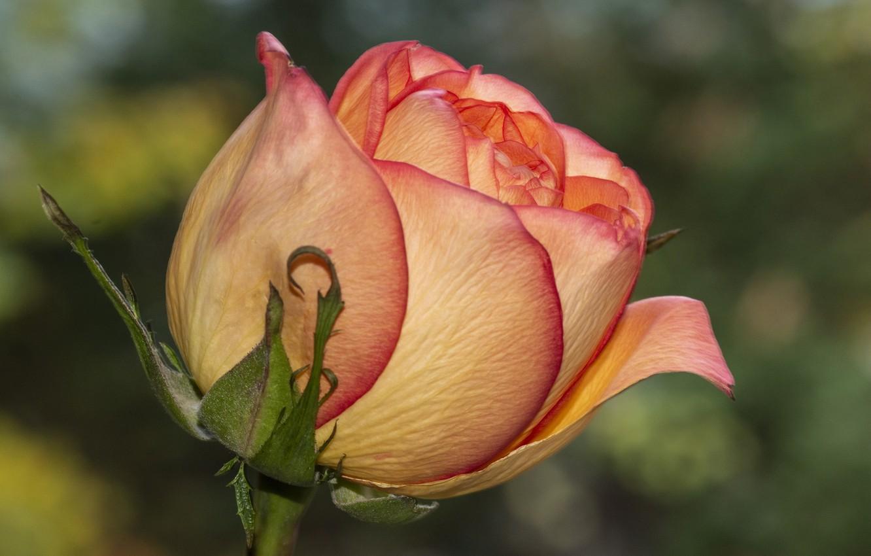 Фото обои цветок, роза, крупным планом