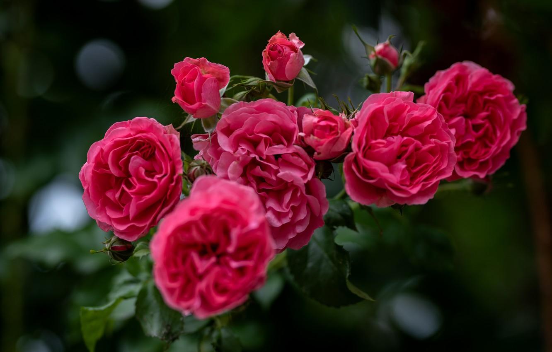 Фото обои макро, природа, куст, розы, ветка, сад, бутоны, @vazgenwaka