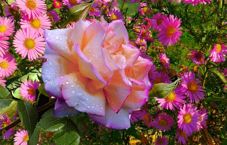 Фото обои осень, роса, Розы, сентябрь