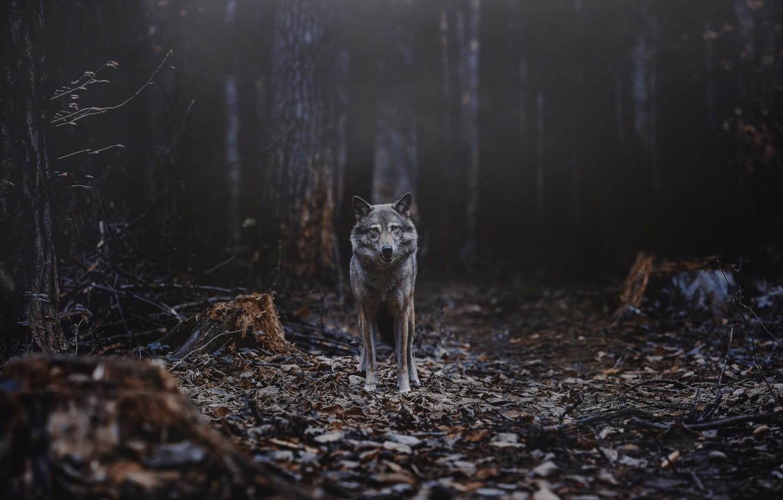 Фото обои лес, волк, хищник