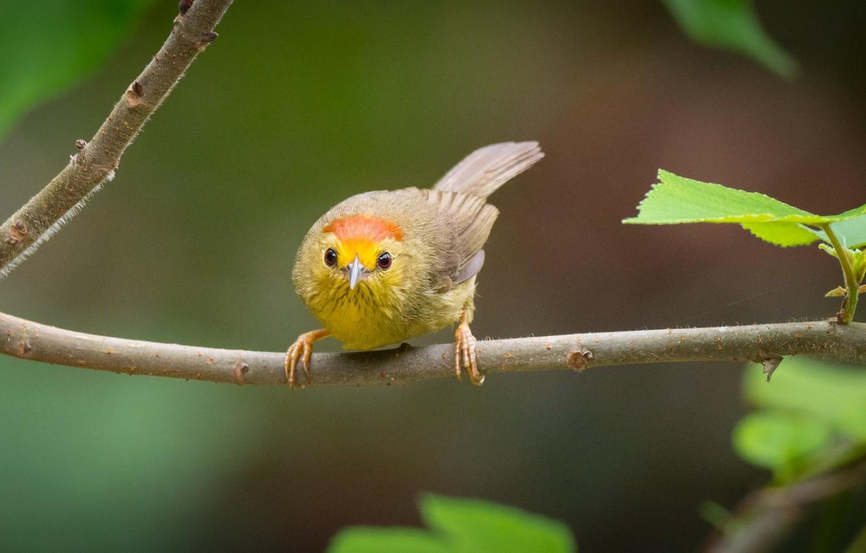 Фото обои птица, ветка, болтун с рыжими шапками