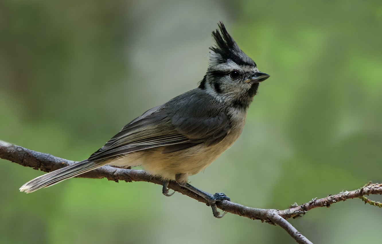 Фото обои птица, ветка, птаха, хохлатая синица