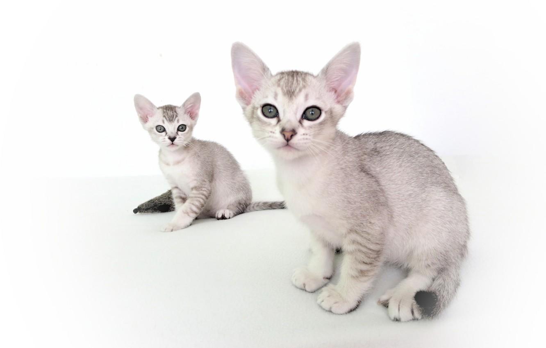 Фото обои пара, котята, белый фон, Азиатская табби