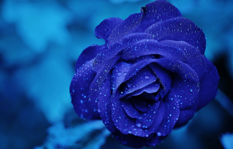 Фото обои цветок, вода, капли, макро, синий, роза