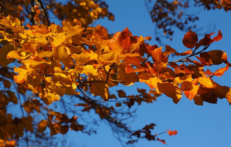 Фото обои осень, небо, листья, ветки, синева, листва, желтые, осенние листья