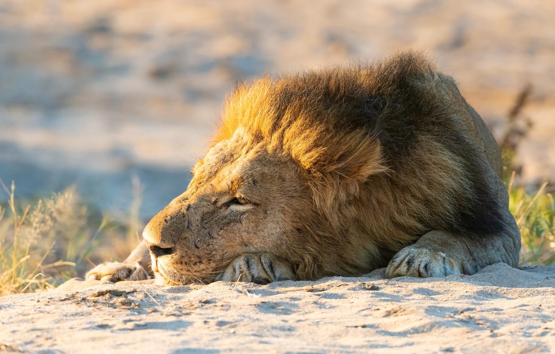 Фото обои песок, морда, отдых, лев, лапы, грива, лежит