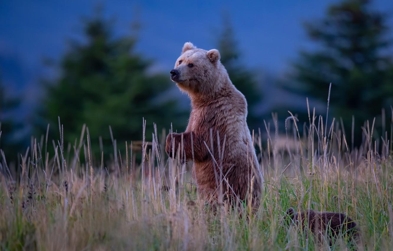Фото обои трава, медведи, медвежонок, стойка, медведица