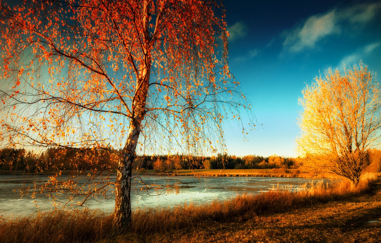 Фото обои осень, природа, берёза