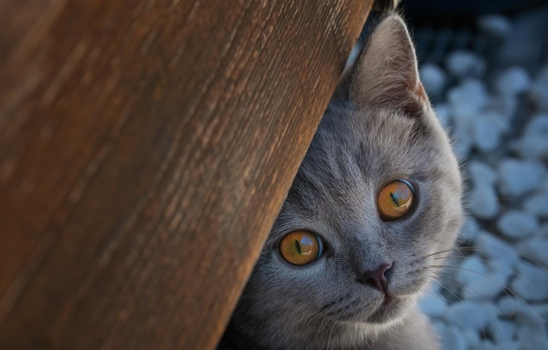 Фото обои взгляд, мордочка, котёнок, Британская короткошёрстная кошка