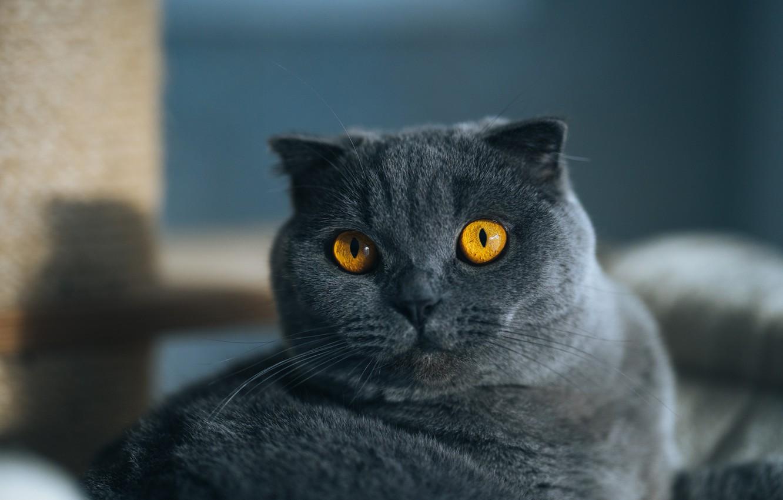 Фото обои кошка, кот, взгляд, морда, поза, серый, портрет, лежит, британский, желтые глаза