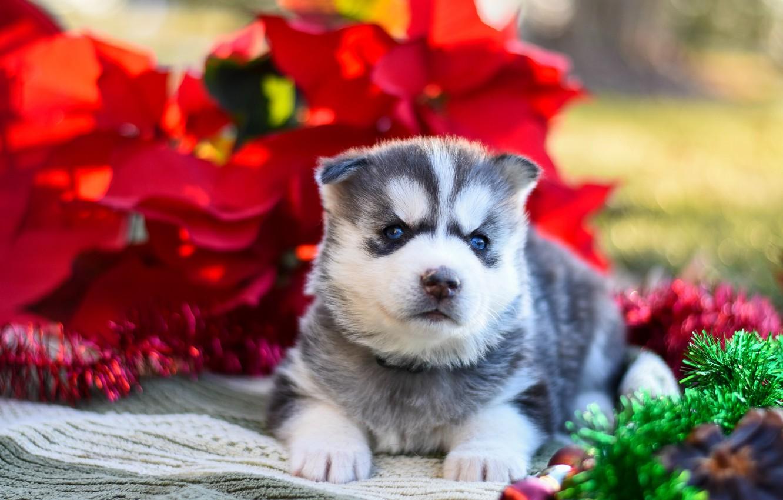 Фото обои красный, поза, фон, собака, малыш, щенок, ткань, лежит, мишура, мордашка, хаски, сибирский хаски