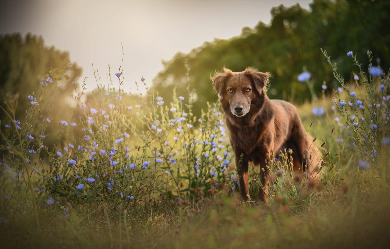 Фото обои поле, лето, цветы, природа, собака, луг, прогулка, бордер-колли