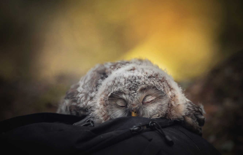 Фото обои желтый, природа, поза, фон, отдых, сова, птица, сон, портрет, размытие, пух, спит, лежит, сумка, рюкзак, …