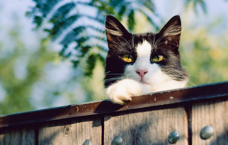 Фото обои кошка, кот, морда, листья, природа, фон, черно-белый, доски, забор, желтые глаза
