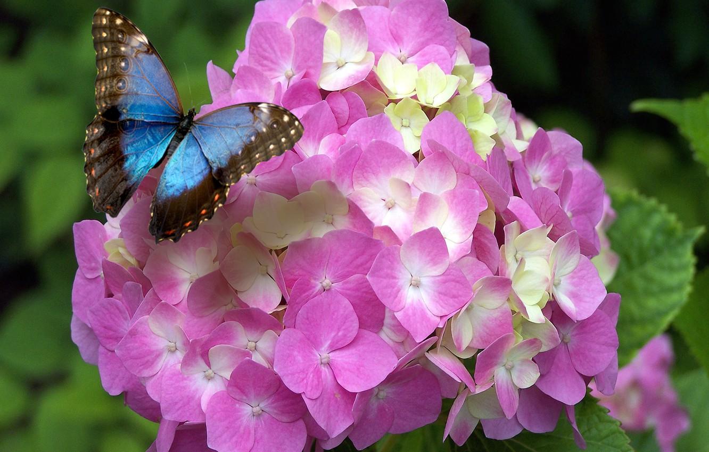 Фото обои butterfly, flowers, spring, bloom, hydrangea