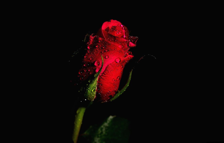 Обои капли, красная роза. Цветы foto 13