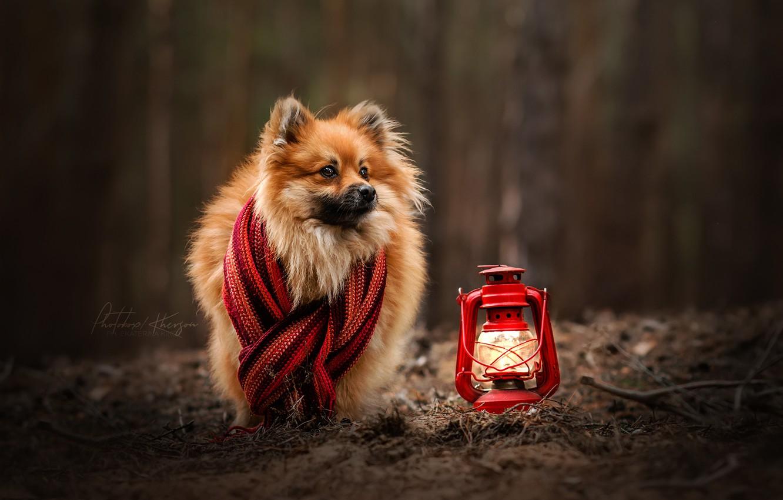 Фото обои осень, собака, шарф, фонарь, боке, Шпиц, Екатерина Кикоть
