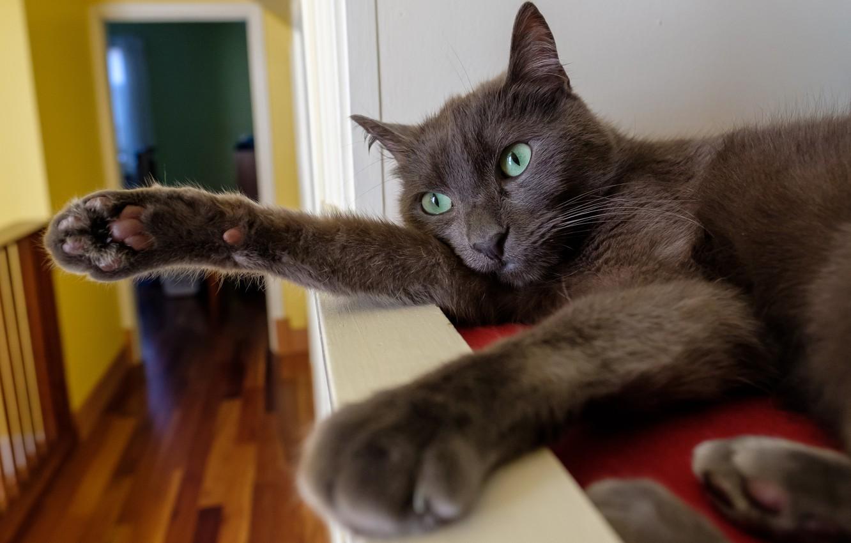 Фото обои кошка, кот, поза, серый, комната, лапы, полка, лежит, зеленые глаза, дымчатый