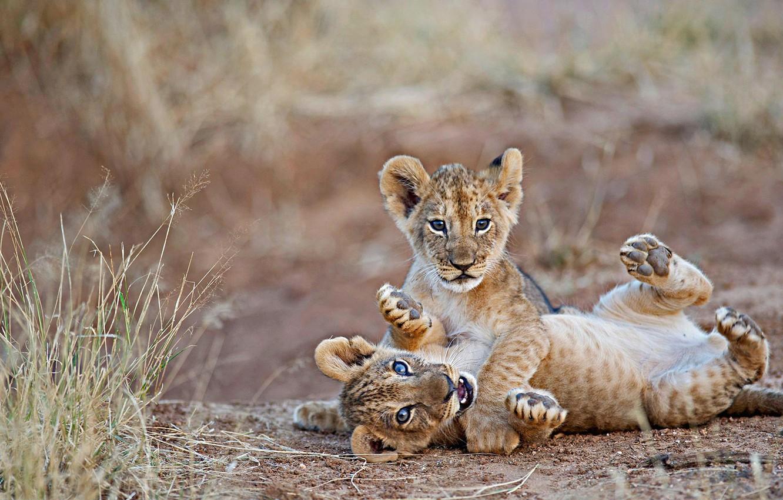 лев, Африка, львенок, Кения, Национальный заповедник Самбуру