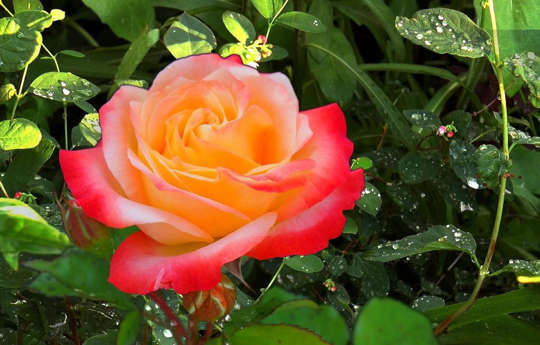 Фото обои лето, трава, роса, дождь, Роза