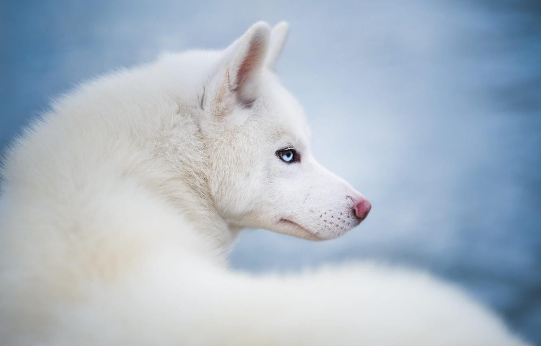 Фото обои взгляд, животное, собака, голова, профиль, хаски, пёс