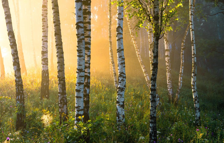 Фото обои лето, трава, туман, березы